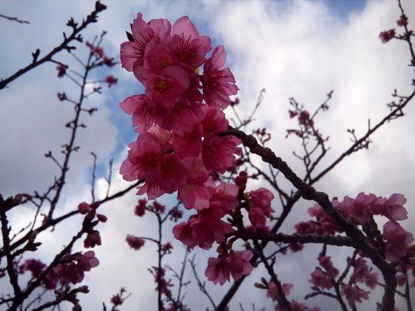 奄美大島本茶峠の桜1