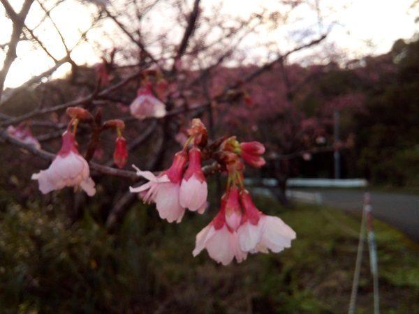 奄美大島本茶峠の桜3