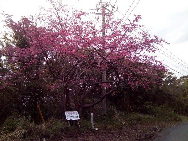 奄美大島本茶峠の桜2